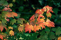 Maple Leaves in Autumn Colours