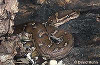 0420-1101  Anchieta's Dwarf Python (Anthony Python), African Python, Python anchietae  © David Kuhn/Dwight Kuhn Photography