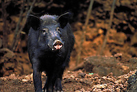 Wild black pig know to create havoc in the native Hawaiian rainforest