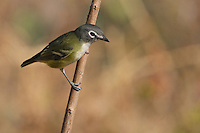 "The Blue-headed Vireo is a vocal bird of northeastern forests. Formerly lumped as a ""Solitary Vireo"" with the more western Plumbeous and Cassin's vireos, it is now considered a separate species."