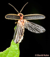 0109-0908  Lightning Bug (Fire fly or Firefly), Preparing to Fly, Photinus spp. © David Kuhn/Dwight Kuhn Photography