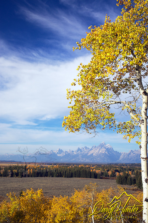 Buffalo Ridge, Golden Aspen, autumn, sunrise, Grand Teton National Park, Grand Tetons, Jackson Hole, Wyoming