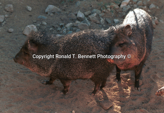 Wild boar, pig, pigs, boar, wild pigs, Sus scrofa, boar, pig, domestic pig, pleistocene, sow, wild boar piglet, sow wild boar,State of Arizona, Southwest, desert, 48th State, Last of contiguous states, Wild Bore, pigs, State of Arizona, Southwest, desert, 48th State, Last of contiguous states, Stock and Fine Art Photography by Ron Bennett, Stock Fine Art, Stock Fine Art photography, Stock Art Photography, Copyright, RonBennettPhotography.com,