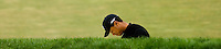 PGA golfer Tiger Woods looks down after hitting from a sand trap during the 2007 Wachovia Championships at Quail Hollow Country Club in Charlotte, NC.