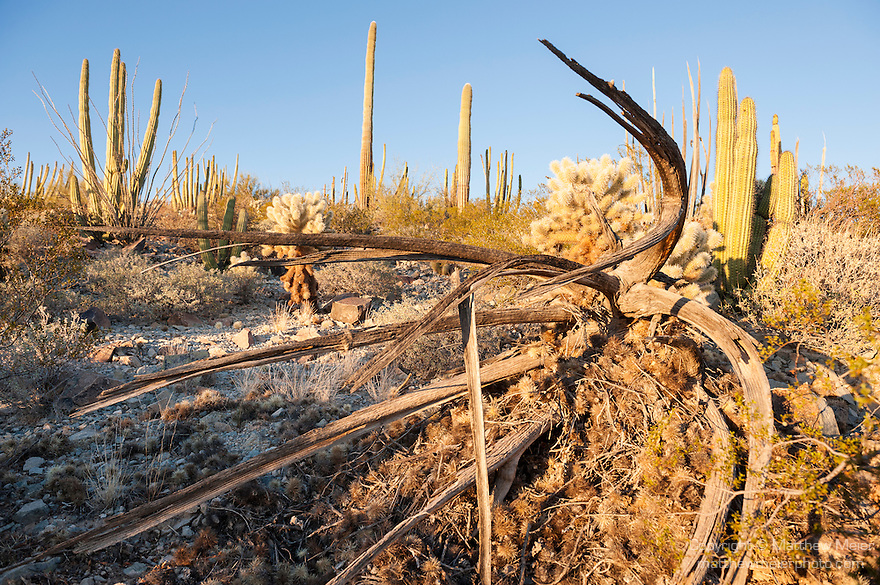 Organ Pipe Cactus National Monument, Ajo, Arizona; a dead organ pipe cactus skeleton lying on it's side on the desert floor in late afternoon sunlight