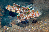 Crab eyed gobies (signigobius biocellatus) hovering over their den, hole in the sand) , one guarding and one filtering sand for food, Wori outside, Bunaken, Celebes sea, Pacific Ocean, Sulawesi, Indonesia, Asia