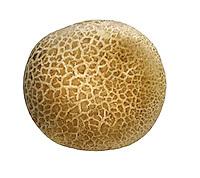 leopard earthball<br /> Scleroderma areolatum