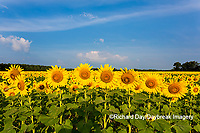 63801-07503 Sunflower field Sam Parr State Park Jasper County, IL