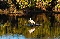 US, Florida, Merritt Island National Wildlife Refuge, Black Point Wildlife Drive. Roseate Spoonbill.