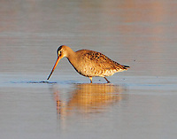 Female Husonian godwit in breeding plumage