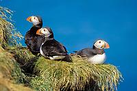 bird, Atlantic puffin, Fratercula arctica, Iceland, North Atlantic Ocean