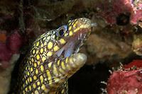 Jewel Moray (Muraena lentiginosa) Eel on a reef in Costa Rica.