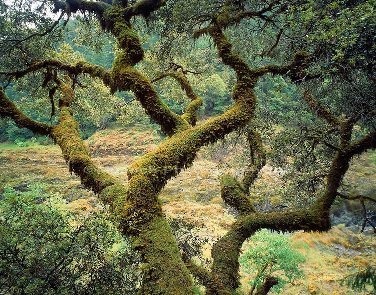 Oak design    OREGON