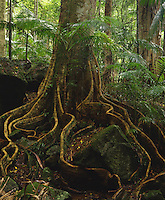 Yellow Carabeen Buttress Roots<br />