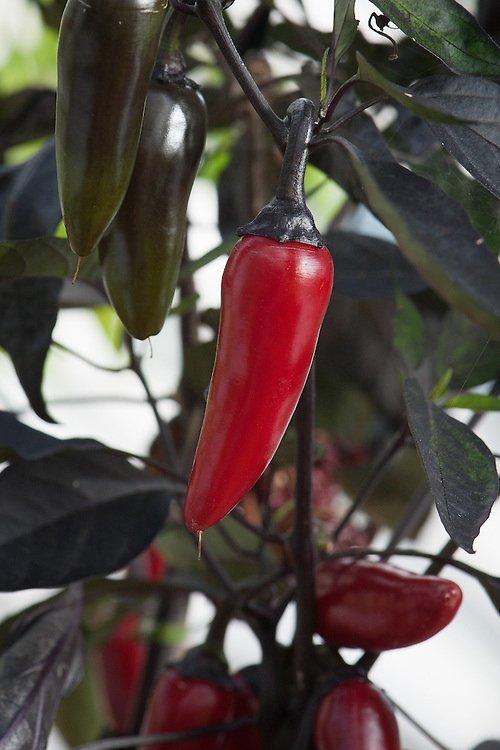 Chilli 'Nosferatu', glasshouse, late September. A medium-hot chilli that starts black - like the foliage - and turns to blood red as it ripens.