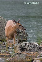 0623-1031  Northern (Woodland) White-tailed Deer Eating Grass, Odocoileus virginianus borealis  © David Kuhn/Dwight Kuhn Photography