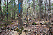 Fresh woodpecker holes in a marked softwood tree in Unit 49 of the Pemi Northwest timber harvest project in Benton, New Hampshire. The blue paint marks indicate that the tree will be cut during the timber harvest.
