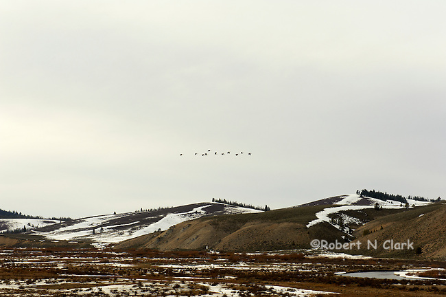 Geese flying over the Valley Creek area near Stanley, Idaho in the late winter