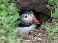 Puffin Fratercula arctica L 30cm. Endearing seabird. Flies on narrow wings with whirring wingbeats. Swims well and dive frequently for fish. Sexes are similar. Adult in summer has mainly dark upperparts with dusky face; underparts are white. Legs are orange-red and bill is huge, flattened and marked with red, blue and yellow. In winter, similar but with dark grey face and smaller, duller bill. Juvenile is similar to winter adult but with small, dark and dull bill. Voice Utters groaning calls at nest. Status Locally common. Only comes ashore in breeding season. Colonial nester, excavating burrows in grassy cliffs. Only storm-driven, sick or oiled birds are seen near land in winter.