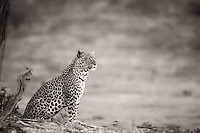 Leopard looking out over the Nossob plains.