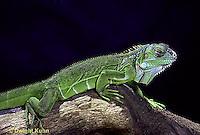 1R10-043a  Iguana - sleeping, iguana from Central America - Iguana iguana