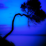 An twisted fir tree with blue sea