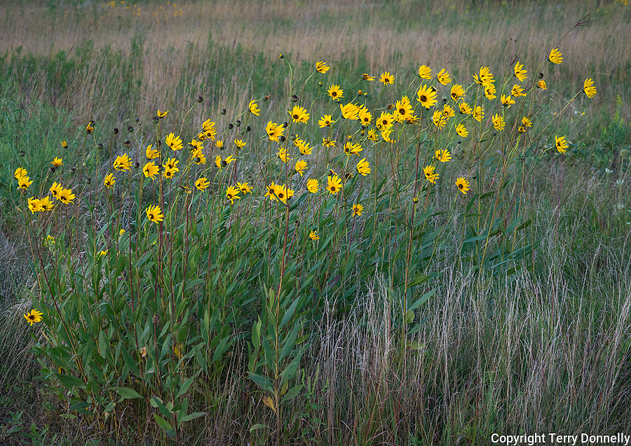 Blue Mounds State Park; Minnesota:<br /> Detail of Goldenrod (solidago) and prairie sunflower (Helianthus petiolaris) flowers in a tallgrass prairie