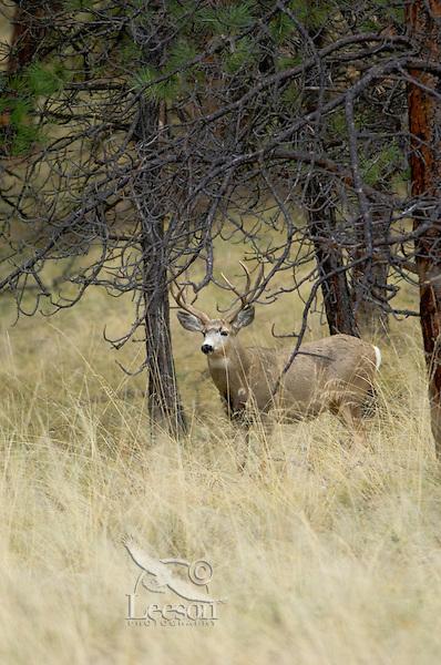 Mule Deer buck (Odocoileus hemionus).  Western U.S., Fall.