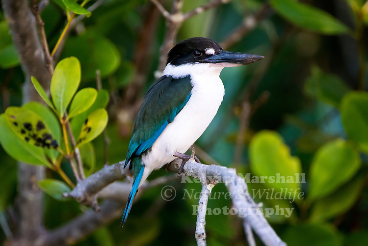 Collared kingfisher (Todiramphus chloris) is a medium-sized kingfisher belonging to the family Halcyonidae, the tree kingfishers. It is also known as the white-collared kingfisher or mangrove kingfisher, and more recently as the  Torresian kingfisher (Todiramphus sordidus). Cairns, Far - North Queensland -  Australia.