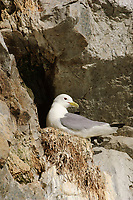 Adult Black-legged Kittiwake (Rissa tridactyla) incubating on nest. Alaska. June.