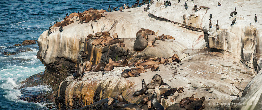 La Jolla Cove, La Jolla, California; a panoramic view of California Sea Lions (Zalophus californianus), Brown Pelicans and Cormorants on the rocky shoreline at La Jolla Cove
