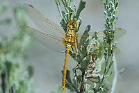 362740016 a wild female saffron-winged meadowhawk sympetrum costiferum perches on a plant at decheambeau ponds in mono county california