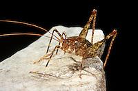 Bedornte Höhlenschrecke, Krauss´s Höhlenschrecke, Krauss Höhlenschrecke, Troglophilus neglectus, Cave cricket, Höhlenschrecken, Rhaphidophoridae, cave crickets