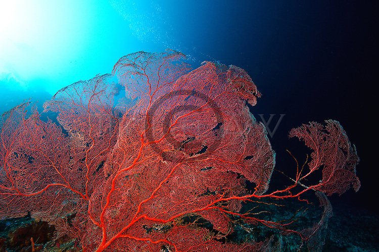 large gorgonian sea fans; Cendrawasih Bay;