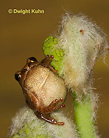 FR16-557z  Spring Peeper on young unfolding ferns, Hyla crucifer or Pseudacris crucifer
