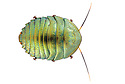 Emerald Roach (Pseudoglomeris magnifica) nymph. Captive, originating from Vietnam.