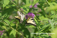 03023-03113 Eastern Tiger Swallowtails (Papilio glaucaus) on Butterfly Bush (Buddleja davidii) Marion Co. IL