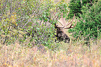 A bull moose peers out from behind a bush in Alaska's Chugach State Park.
