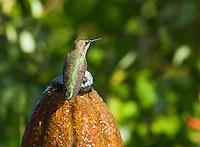 Anna's hummingbird, Calypte anna. On a backyard fountain in the Santa Cruz Mountains, California