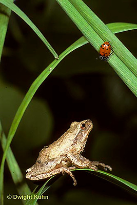 FR16-059z  Ladybug being watched by predator- a spring peeper frog