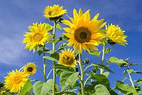 Sunflowers, Fairbanks, Alaska