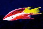 Bodianus pulchellus, Spotfin hogfish, Florida Keys