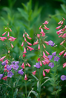 "Native wildflowers, Campanula rotoundifolia and Penstemon ""Elfin Pink"