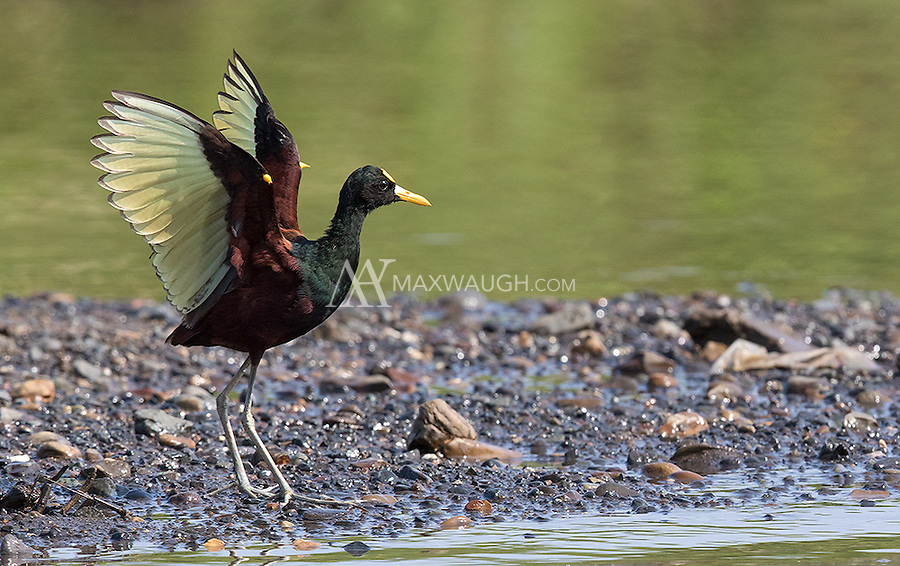 Upon landing, the Northern jacana pauses with its wings spread, before folding them.