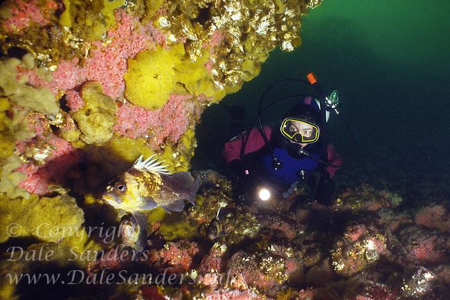 Scuba Diver observing a curious Tiger Rockfish ( Sebastes nigrocinctus) and Quillback Rockfish off Quadra Island,  British Columbia, Canada.