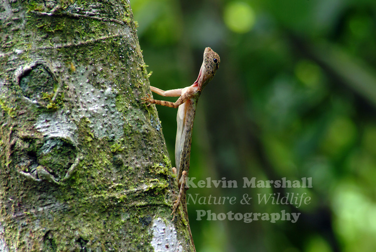 The Common Gliding Lizard (Draco sumatranus) is a lizard with elongated ribs and skin flaps on the sides of its body. When opened, these skin flaps allow it to glide between tree trunks. It is primarily a tree dweller, except that the females come down to the forest floor to lay eggs. The body length is of about 9 cm, with a slightly longer tail. The body is of a dark grey/brown colouration with stripes and patterns to help it camouflage against the tree trunks. The males have a yellow triangular flap of skin under the chin, the gular fold, which is used to communicate with other lizards, mostly for mating. Females have a much smaller and blue flap. They feed on small insects.