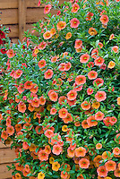 Calibrachoa Cabaret Apricot in pot container, petunia like flowers in orange coral colors