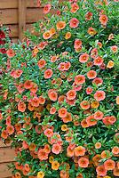 Calibrachoa Cabaret Apricot in pot container, petunia like flowers in orange coral colors