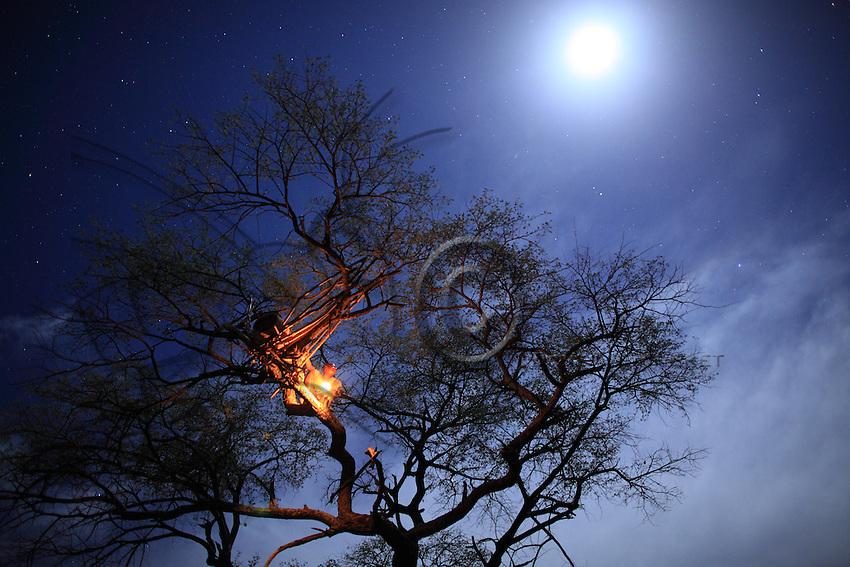 Harvesting scene in a tree by moonlight under the stars.///Scène de récolte dans un arbre sous les étoiles à la lumière de la lune