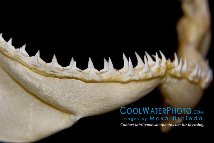 lower jaw of sandbar shark, Carcharhinus plumbeus, showing rows of daggerlike teeth which grasp and hold fast-swimming prey such as fish and squids prior to swallowing, differences in shark tooth size and shape reflect what and how they prey on, Hawaii